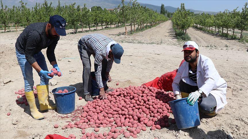 Kuraklığa dayanıklı yerli patates